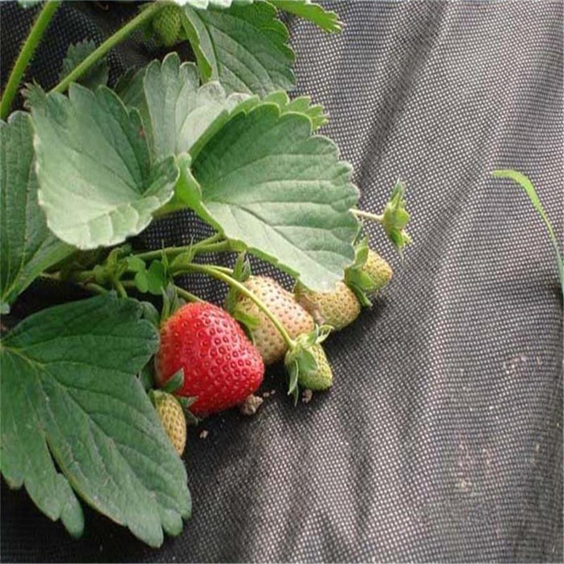 Agricultura pp spunbond não tecido Weed Controle Tecido Embossed 3% UV PP Spunbond